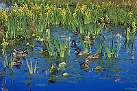 Mallard Ducks feeding in marshy area along lake edge.  Late spring. Pacific Northwest.