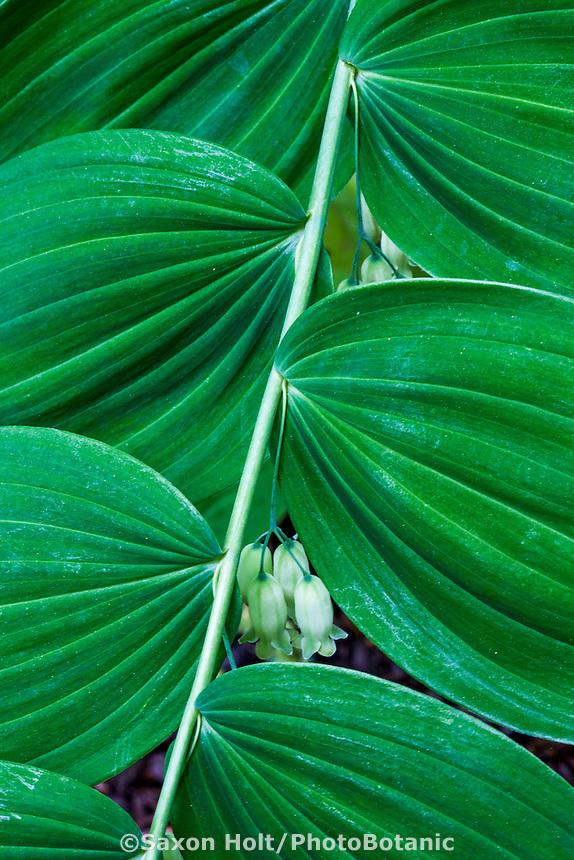 Polygonatum multiflorum (Solomon's seal, ladder-to-heaven) flowering perennial, Cranmer garden - Larry Weiner Design