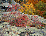 Shawnee National Forest, IL<br /> Red leafed berry bushes and sandstone outcrops above the autumn canopy in the Garden of the Gods Recreation Area
