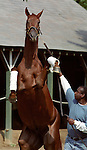Funny Cide at Saratoga, 2003. Saratoga Race Course, Saratoga Racetrack, beautiful horse racing, Thoroughbred racing, horse, equine, racehorse, morning mood