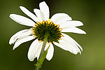 Close-up looking up of Oxeye Daisy, Leucanthemum vulgare, Kemsing Down, Kent Wildlife Trust Nature Reserve, UK, meadow