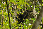 Mantled Howler Monkey (Alouatta palliata) female feeding on leaves in tree, Cocobolo Nature Reserve, Mamoni Valley, Panama