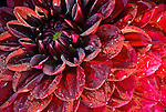 Red Dahlia, Swan Island Dahlias, Oregon