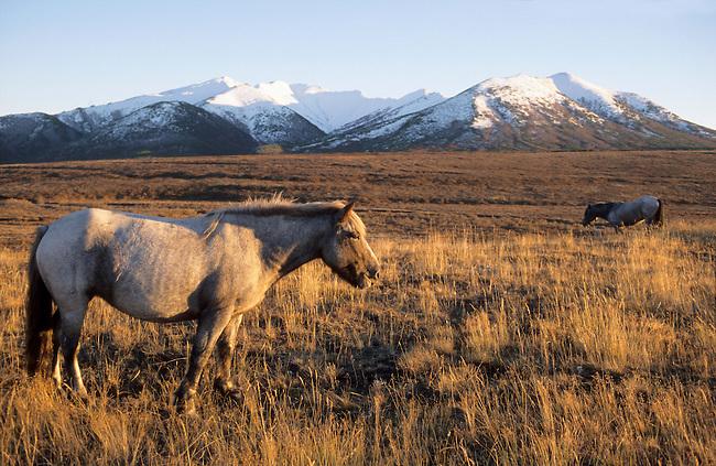 Horses grazing near Khailino in Koryakia, N.Kamchatka, Siberia, Russia.