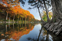 Bald Cypress (Taxodium distichum), Guadalupe River, Gruene, Hill Country, Central Texas, USA