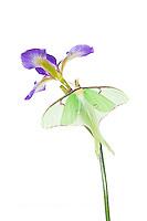 30040-00103 Luna Moth (Actias luna) on Blue Flag Iris (Iris versicolor) on white background, Marion Co., IL
