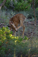 A Mule Deer Fawn learns young to clean its teeth after eating.