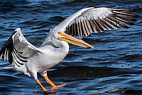 American White Pelican landing in water with wings up and feet down