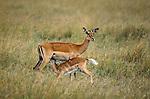 Impala kid nurses, Masai Mara National Reserve, Kenya