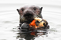 Close up of a sea otter (Enhydra lutris nereis) eating a large cracked open mussel @ Moss Landing in the Monterey Bay National Marine Sanctuary.
