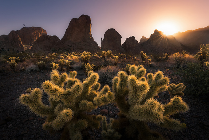 The cholla cactus is known for catching light, here as the sun rises in Arizona's Kofa Mountains.