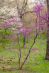 Dogwood and Redbud at the Arnold Arboretum in the Jamaica Plain neighborhood, Boston, Massachusetts, USA