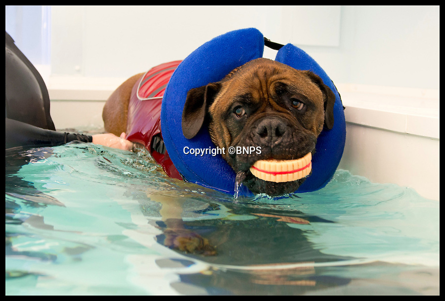 BNPS.co.uk (01202 558833)<br /> Pic: LauraDale/BNPS<br /> <br /> Loki swims for toys at Pet Waves in Dinton, Wiltshire.<br /> <br /> Swim yourself thin... A greedy mastiff has swum himself into shape after staff at a hydrotherapist in Wilton, Wiltshire, hit upon the idea of a trail of cakes to encourage the portly pooch.<br /> <br /> Overweight dog Loki, who loves to munch human food, has been swimming his way slim by chasing a plastic Christmas pudding and burger around the pool.<br /> <br /> The five-year-old bull mastiff has shed 20lbs following a strict diet of low-calorie pet food and regular swimming sessions to battle the bulge and his osteoporosis.<br /> <br /> Loki goes to Pet Waves hydrotherapy pool in Wiltshire once a week where hydrotherapist Joanna Cubbin gets him to work hard for his plastic food.