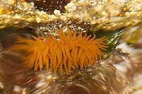 Pferdeaktinie, Pferde-Aktinie, Aktinie, Purpurrose, Actinia equina, Seeanemone, See-Anemone, beadlet anemone, sea anemone, beadlet-anemone, sea-anemone, sea anemones, Blumentier, Blumentiere, Anthozoa