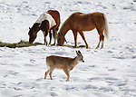 Whitetail doe looking for food in a horse pasture during a long Montana winter