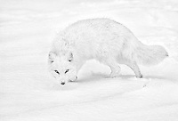 An arctic fox on the tundra