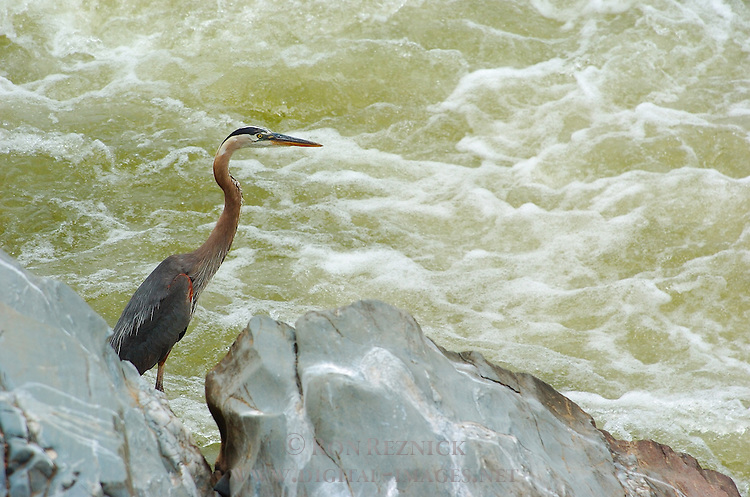 Great Blue Heron, Potomac River, Great Falls Park, Fairfax County, Virginia