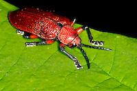 O besouro de lírio escarlate (lilii Lilioceris). <br /> Foto Carlos Borges
