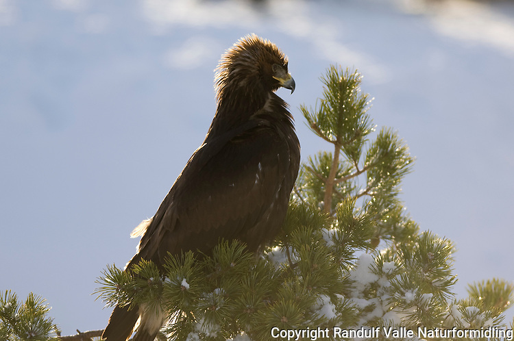 Kongeørn i furu ---- Golden eagle in pine tree