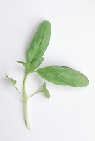 Ocimum basilicum 'Genovese' Basil herb one sprig on white background