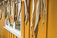 dried cod stockfish hanging near building, Lofoten islands, Norway