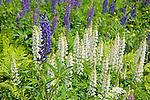 Colorful Lupines Blooming in Meadow in White Mountains of New Hampshire