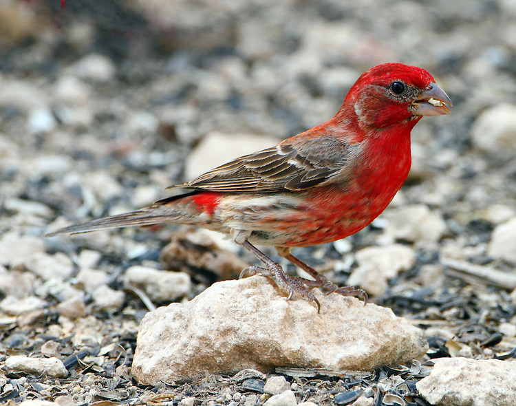 Male house finch, redist one I ever saw