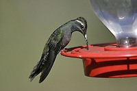 Blue-throated Hummingbird - Lampornis clemenciae - Adult male
