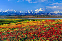 Crimson Red Bearberry, North Face Of 20, 3020+ Ft. Mt. Denali, Autumn Tundra And Mckinley River Bar, Denali National Park, Alaska.