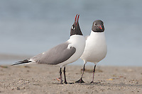 Laughing Gulls (Larus atricilla) courting