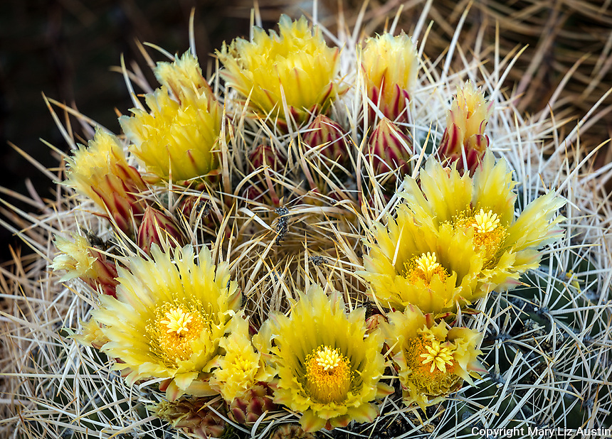 Anza-Borrego Desert State Park, CA:  Blossoms of California barrel cactus (Ferocactus cylindraceus)