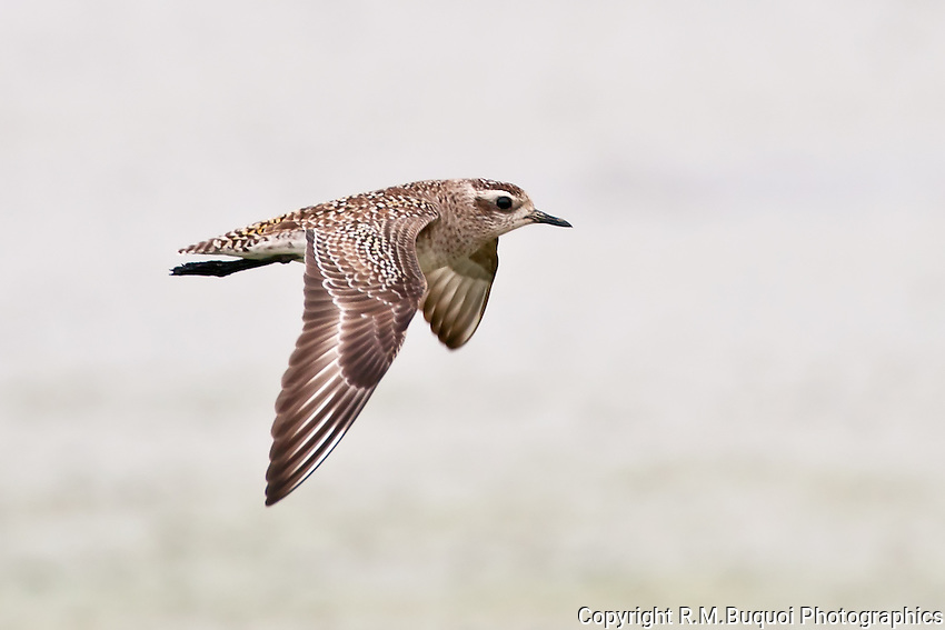American golden plover in flight rmbuquoi photographics american golden plover in flight freerunsca Images