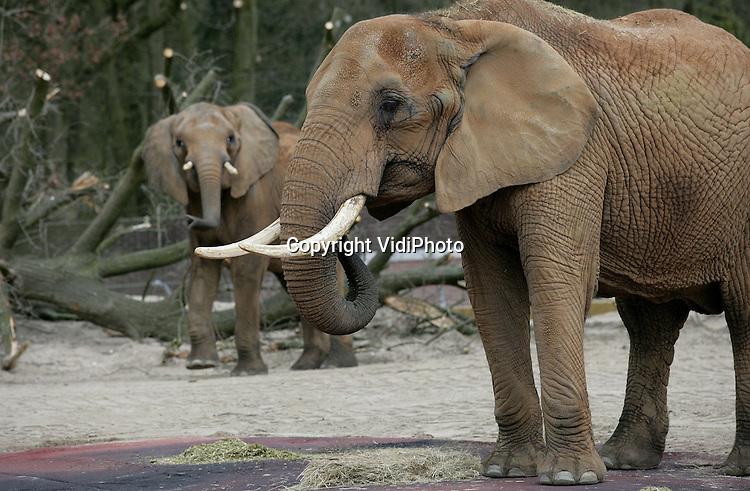 Foto: VidiPhoto..RHENEN - Ouwehands Dierenpark in Rhenen voor het eerst in tien jaar weer olifanten. Na Beekse Bergen is Ouwehands bovendien de tweede Nederlandse dierentuin met Afrikaanse olifanten. Andere dierentuinen hebben Aziatische exemplaren. Afrikaanse olifanten worden met uitsterven bedreigd. De twee olifantenvrouwtjes Aja en Duna mochten vrijdag voor het eerst naar buiten. In het najaar komt er ook een mannetje naar Rhenen waarmee het park wil gaan fokken.