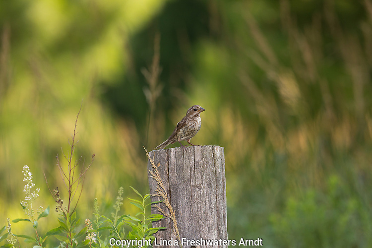 Juvenile purple finch