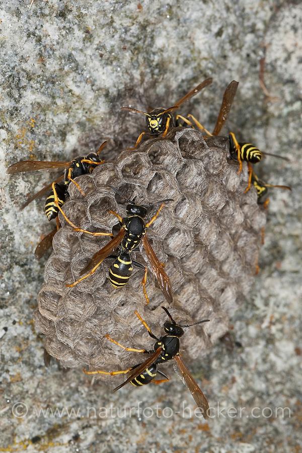 Berg-Feldwespe, Bergfeldwespe, Feldwespe, Feldwespen, Arbeiterin an ihrem Nest, das in Bodennähe an einem Fels angeheftet ist, polistine wasp, Polistes biglumis, Polistinae, Faltenwespe