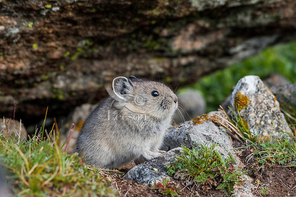 Young American pika (Ochotona princeps).  Beartooth Mountains, Wyoming/Montana border.  Summer.  This photo was taken in alpine setting at around 11,000 feet (3350 meters) elevation.  (Note: the pika looks very much like a young cottontail rabbit in this pose.)