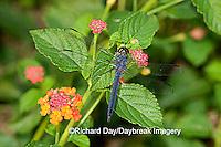 06620-004.06 Slaty Skimmer (Libellula incesta) male in garden on Red Spread Lantana (Lantana camara)  Marion Co. IL