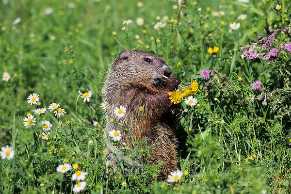 Woodchuck or groundhog (Marmota monax) eating dandelions.
