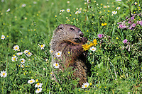 Woodchuck or groundhog (Marmota monax) eating dandelions.