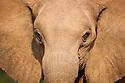 Namibia;  Namib Desert, Skeleton Coast,  desert elephant  (Loxodonta africana), portrait of female