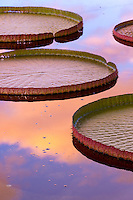 Tropical water lily pads with colorful sunrise reflected in water.