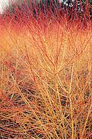 Cornus sanguinea Winter Beauty in colorful winter stems of red and orange