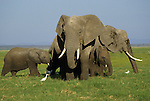 An African elephant family group in Kenya.