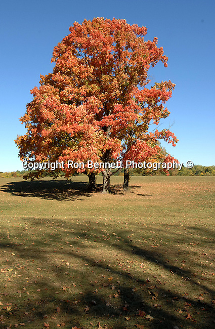 Orange and red autumn leaves on tree in field with split rail fence on windy road Oatlands Plantation Commonwealth of Virginia, Fine Art Photography by Ron Bennett, Fine Art, Fine Art photography, Art Photography, Copyright RonBennettPhotography.com ©