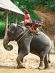 Mahout and Elephant-Thailand