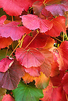 Vitis californica 'Roger's Red' in fall color