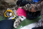 Snow Leopard (Panthera uncia) male during collaring with ranger, Ulan Abulgaziev, massaging paw to stimulate circulation, Sarychat-Ertash Strict Nature Reserve, Tien Shan Mountains, eastern Kyrgyzstan