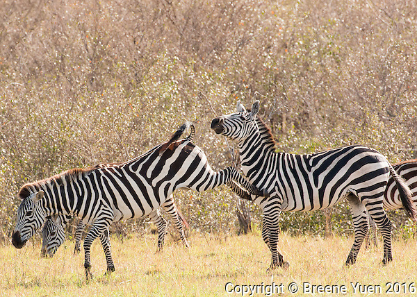 Zebra Keep Away  Kenya 2015