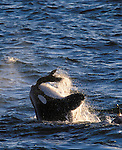 Orca and Southern Sea Lion, Peninsula Valdes, Argentina