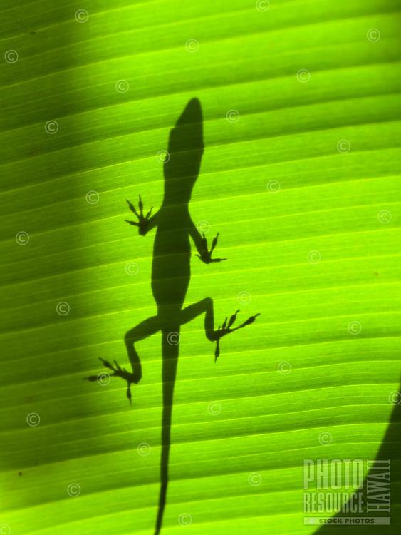 The shadow of an Anole lizard on the broad leaf of a banana tree, Big Island.